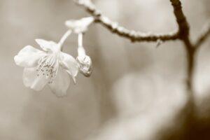 桜セピア色